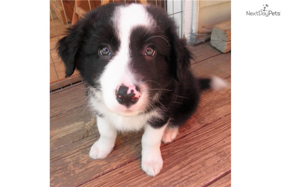 Bishop Border Collie Puppy For Sale Near San Diego California