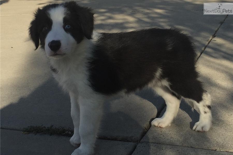 Black Beauty Border Collie Puppy For Sale Near San Diego