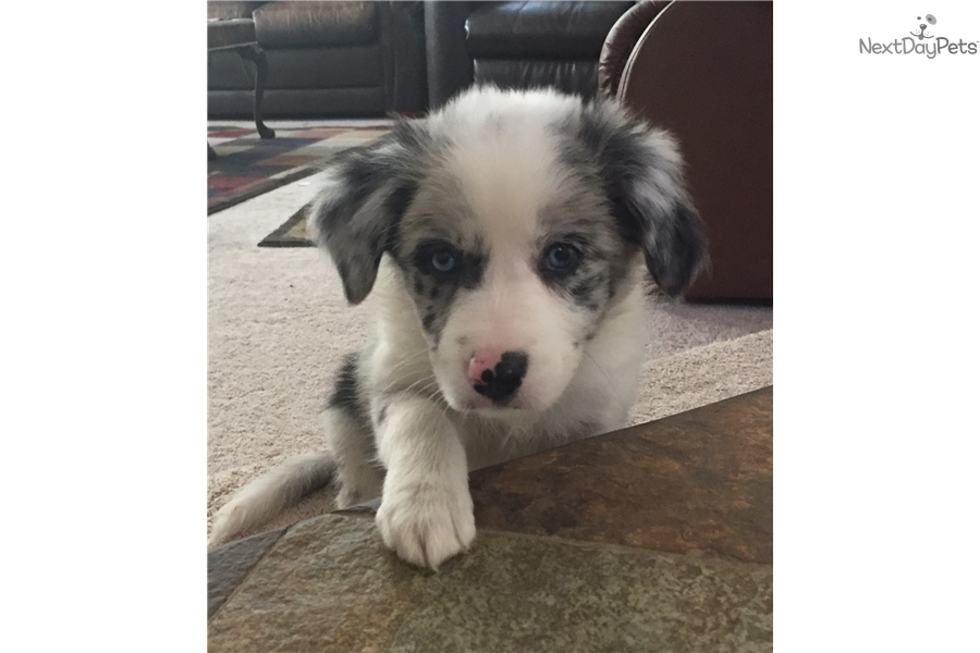 Maybelline Border Collie Puppy For Sale Near San Diego California