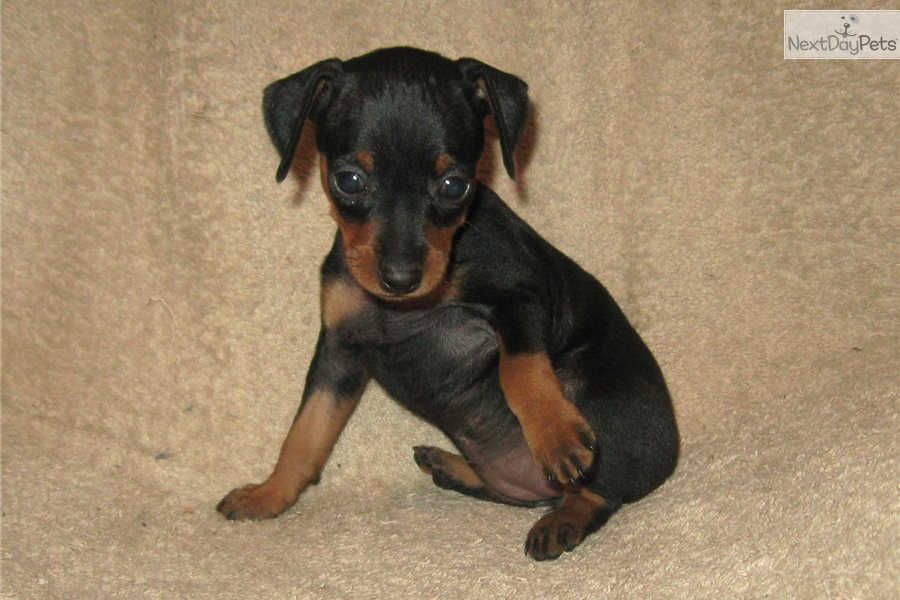 pin miniature pinscher pup - photo #8