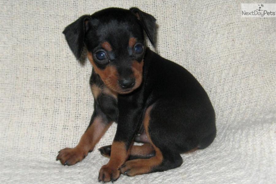pin miniature pinscher pup - photo #15