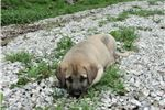 Picture of AKC Anatolian Shepherd pup