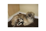 Featured Breeder of Havaneses with Puppies For Sale