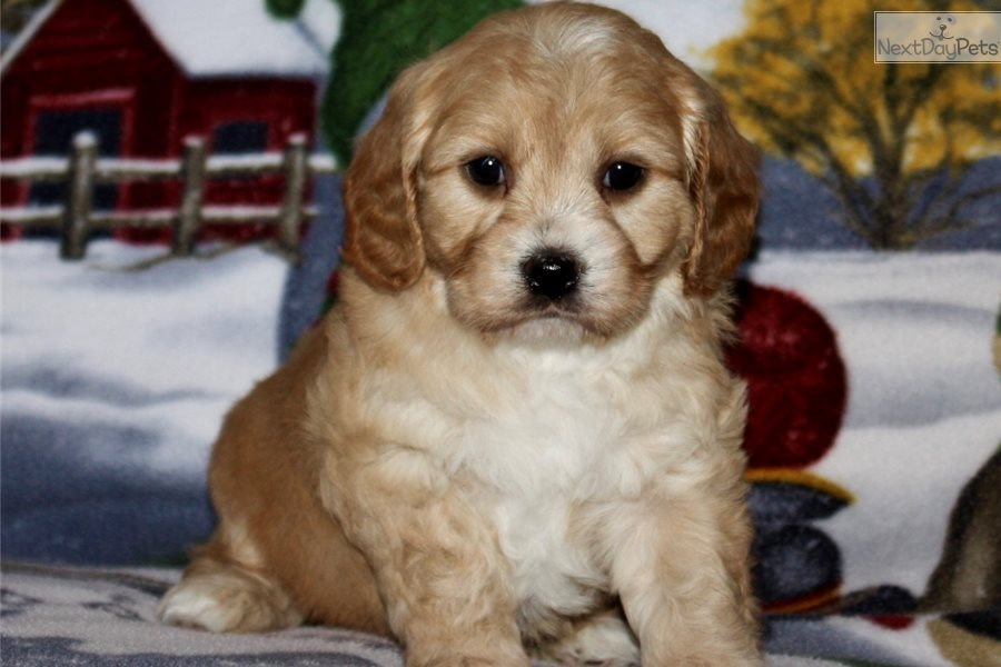 Tucker: Cavachon puppy for sale near Iowa City, Iowa
