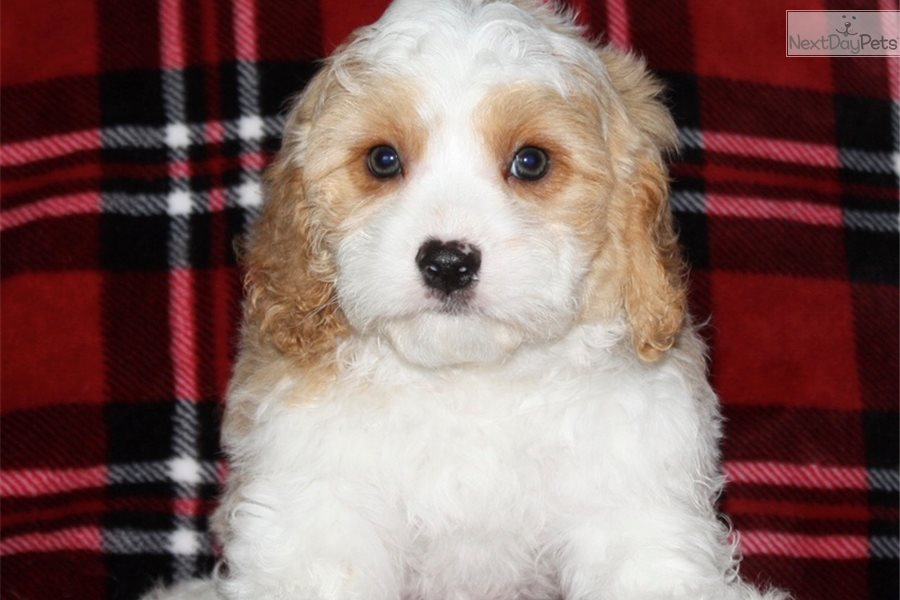 Billy: Cavachon puppy for sale near Iowa City, Iowa
