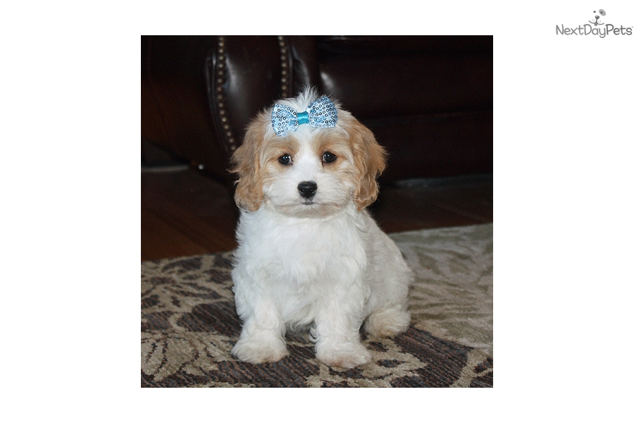 Bella: Cavachon puppy for sale near Iowa City, Iowa