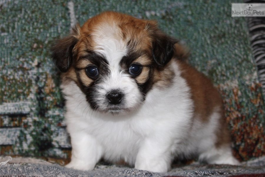 Puppies for Sale in Iowa - Puppies and Dogs for Sale