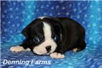 Boston Terrier for sale