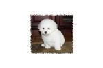 Picture of a Malti Poo - Maltipoo Puppy