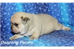 Picture of Puggle Male #3