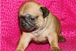 Picture of Puggle Female #2