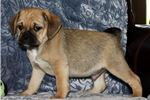 Picture of Puggle Male #5