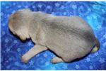 Picture of Puggle Male #6a