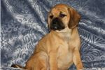 Picture of Puggle Female #3