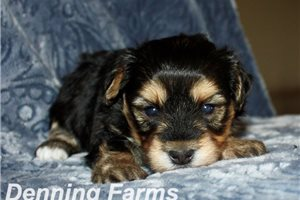Picture of Yorkipoo Taylor