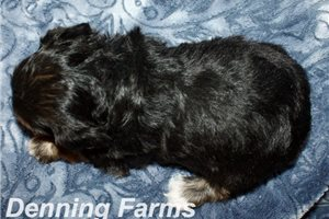 Picture of Yorkipoo Cara