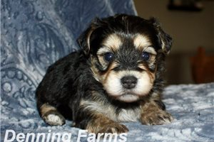 Picture of Yorkipoo Lacey