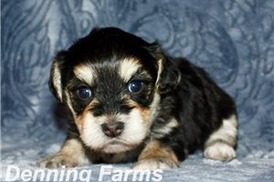 Picture of Yorkipoo Baxter