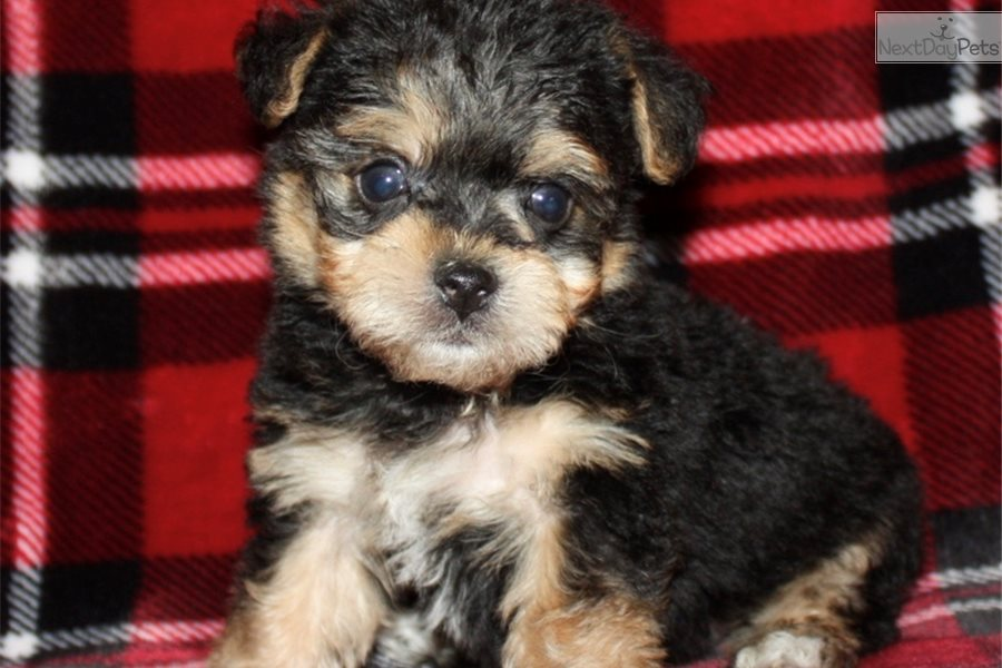 Rose Glen North Dakota ⁓ Try These Yorkie Poo Puppies For Sale In Ia