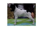 Picture of an English Pointer Puppy