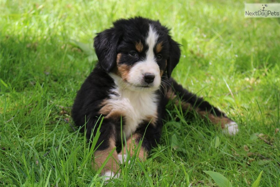 Lexi Bernese Mountain Dog Puppy For Sale Near Akron