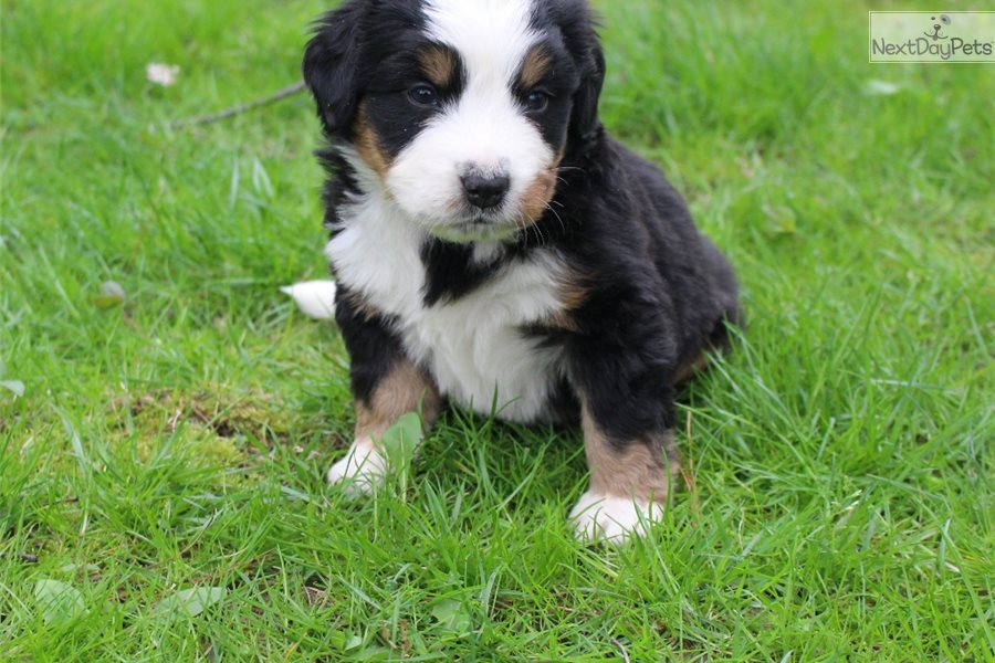 Abby Bernese Mountain Dog Puppy For Sale Near Akron