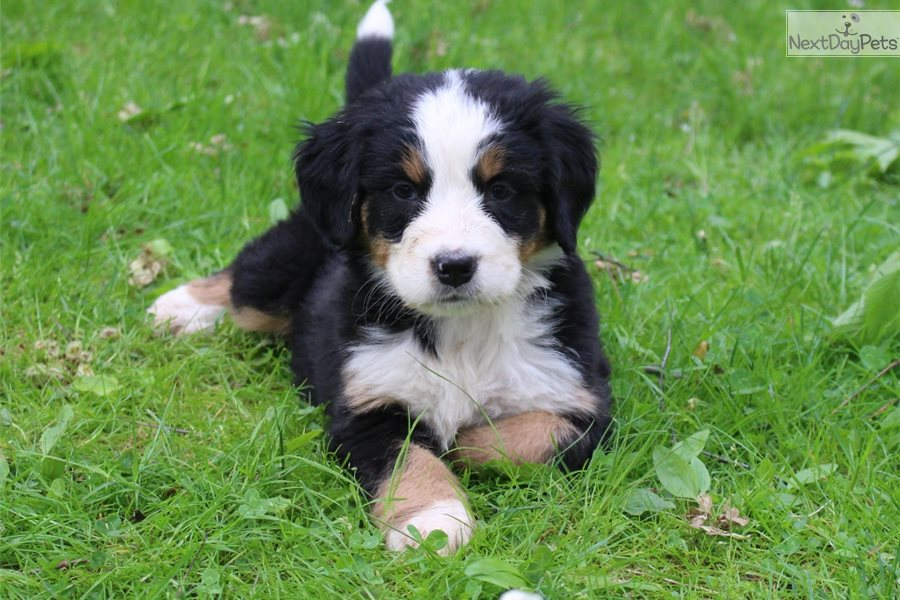 Daisy Bernese Mountain Dog Puppy For Sale Near Akron