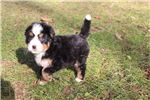 Picture of Maggie - AKC Bernese female puppy
