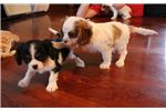 Picture of Emmyy - AKC Cavalier Spaniel Female