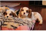 Picture of Misty - AKC Cavalier Spaniel Female