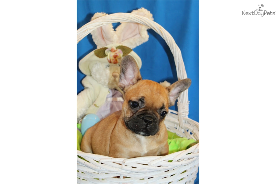 Puppies Coming Up: French Bulldog puppy for sale near Tri