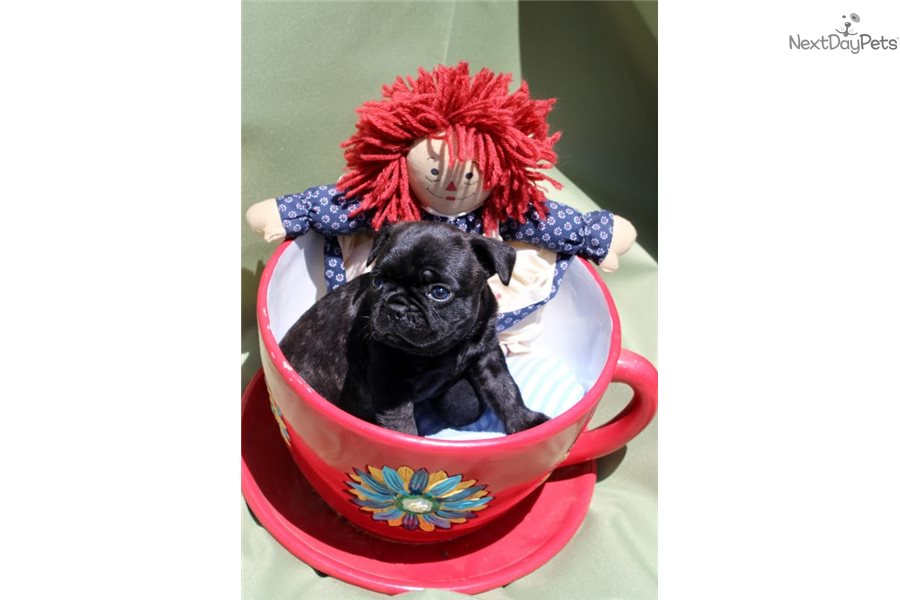 Mugsy French Bulldog Puppy For Sale Near Tri Cities Tennessee