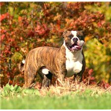View full profile for Stm American Bulldogs