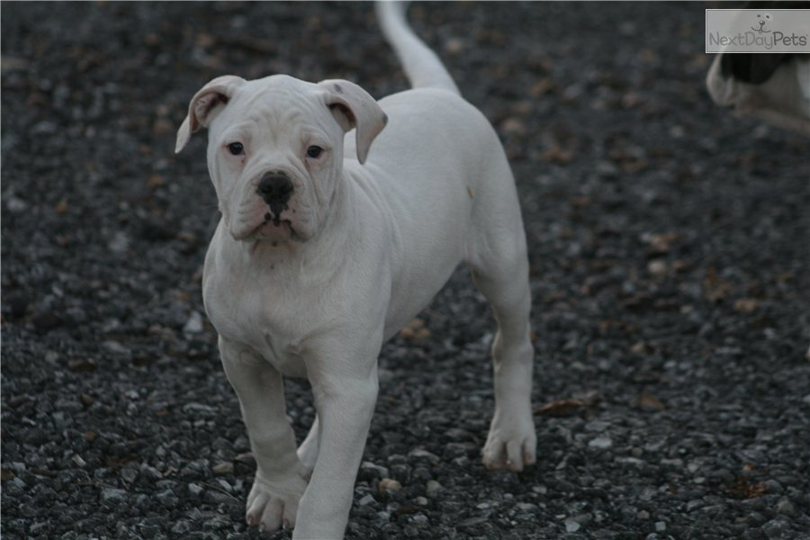 american bulldog price range meet cupcake a cute american bulldog puppy for sale for 2468