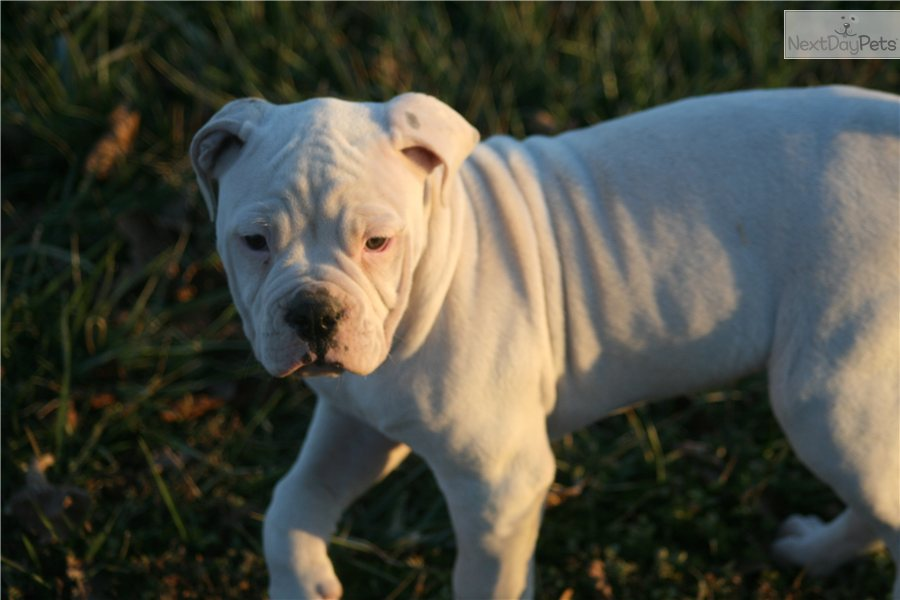 american bulldog price range meet cupcake a cute american bulldog puppy for sale for 5734