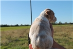 Picture of AKC Brittany Male #8a