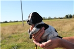 Picture of AKC Brittany female #2a