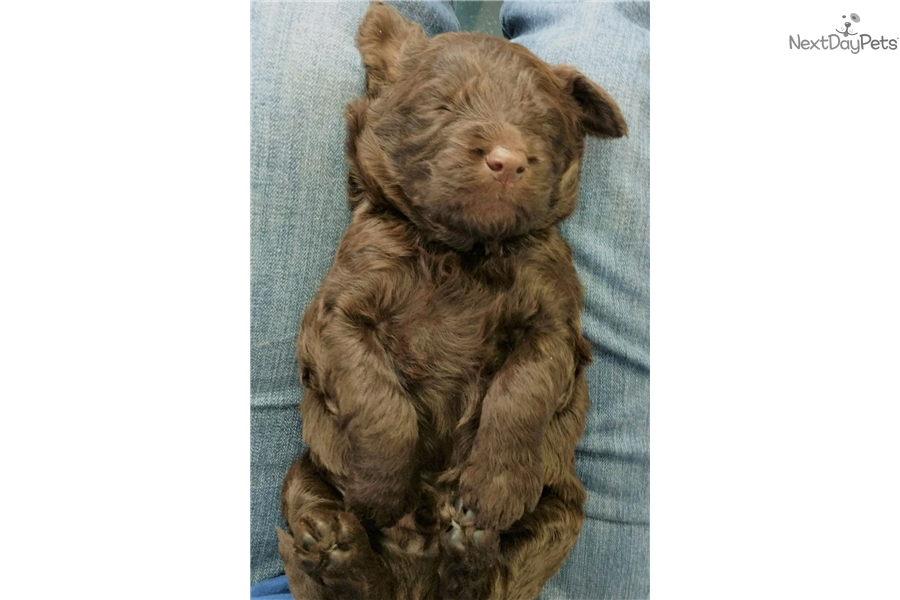 Chocolate Male #5: Goldendoodle puppy for sale near Buffalo