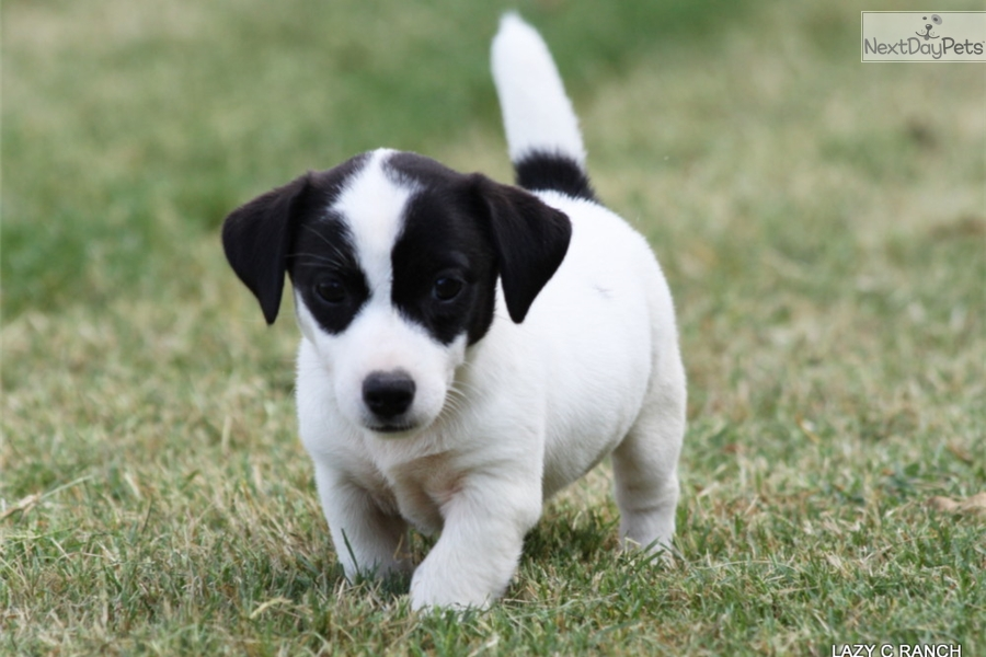 jack russell terrier black and white - photo #8