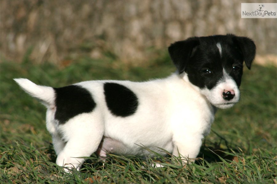 jack russell terrier black and white - photo #3