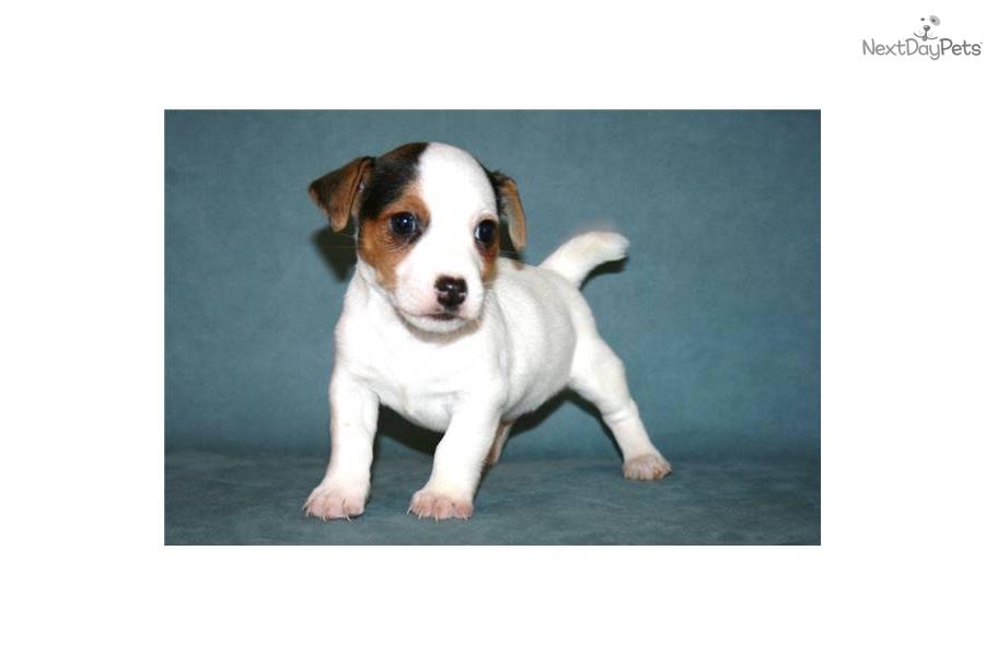 Meet PRESCOT a cute Jack Russell Terrier puppy for sale ...