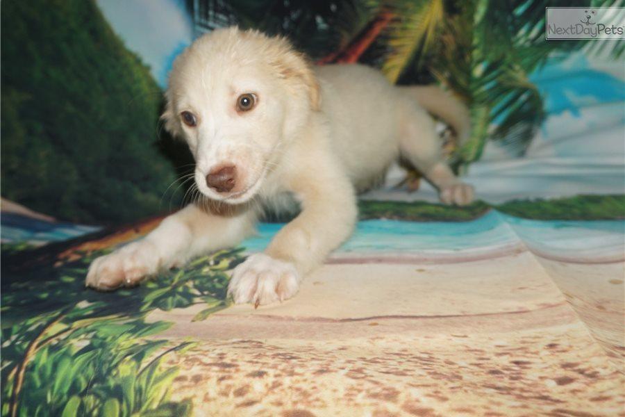 Captain Crunch: Aussiedoodle puppy for sale near Jacksonville, Florida. |  abd4c04c-02d1