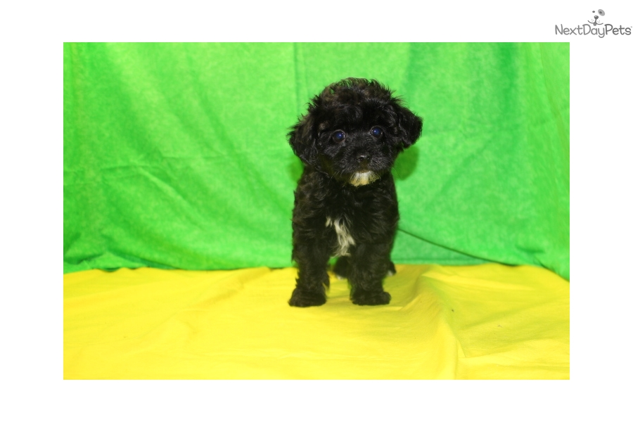 Hero Havapoo Puppy For Sale Near Jacksonville Florida 527a83a8