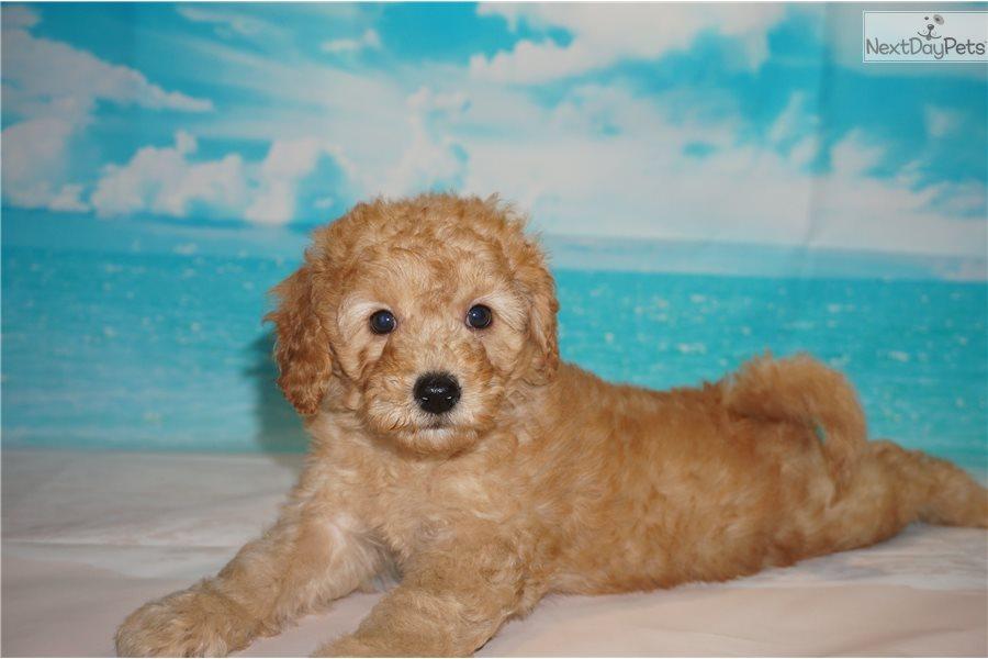 Nestle: Labradoodle puppy for sale near Jacksonville