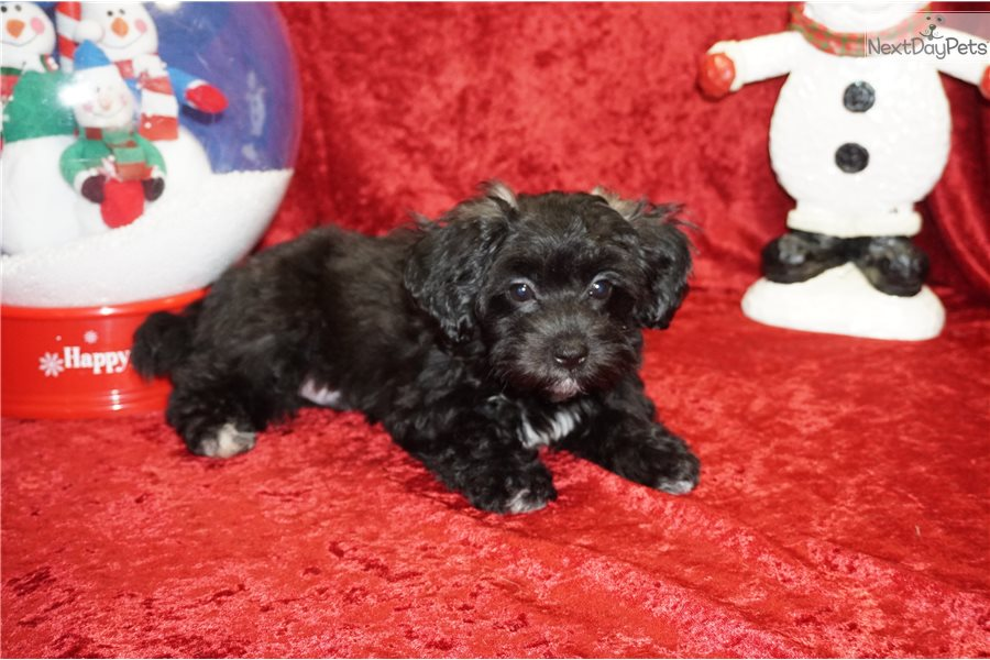 Jojo: Malti Poo - Maltipoo puppy for sale near Jacksonville