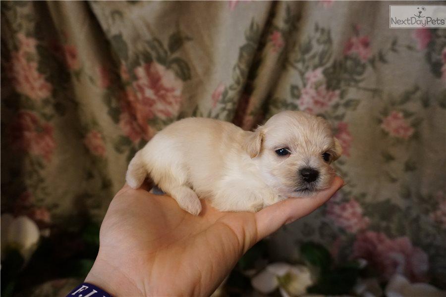 Maltipoo puppy for sale near Jacksonville, Florida | 3765cfce