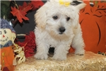 Havamalt Puppies for Sale from Reputable Dog Breeders