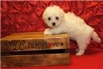 Picture of a Havamalt Puppy