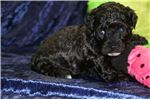Picture of Sina Beautiful Female CKC Havapoo / Poovanese