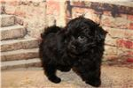 Picture of Pippy Black Female Havapoo EAW 5 lbs
